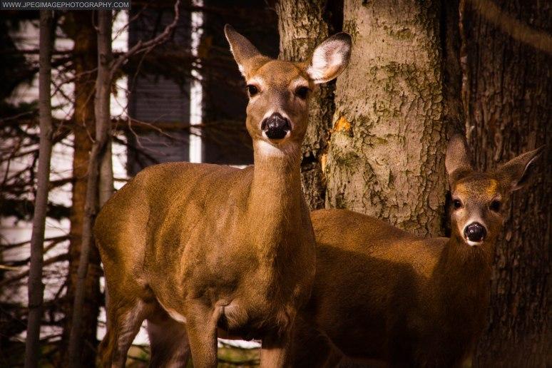 Two female deers (Doe) walking through a wooded area of East Stroudsburg, PA.