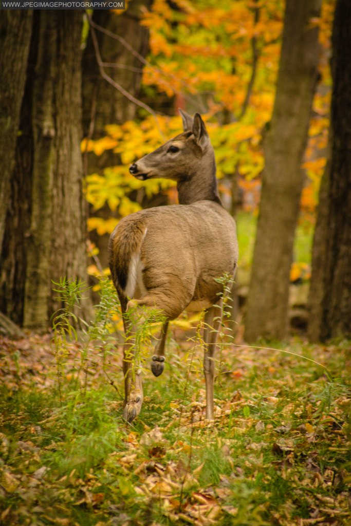 Female deer (Doe) walking through a wooded area of East Stroudsburg, PA.