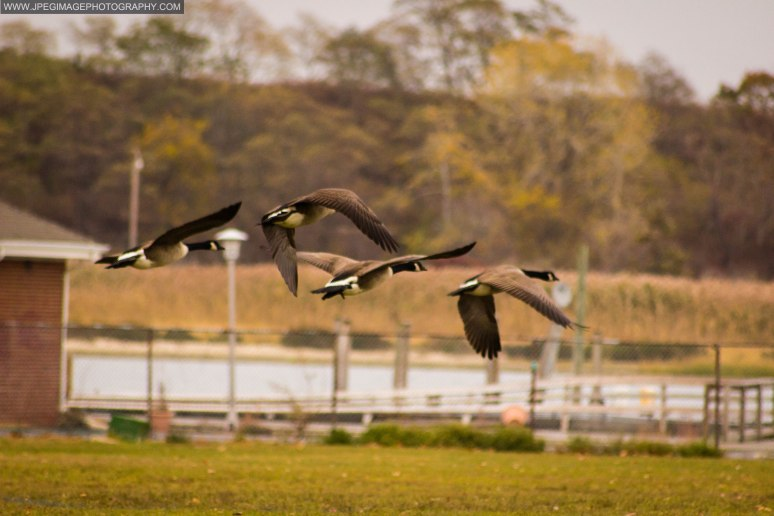 Group of Canada Goose (Branta Canadensis) in flight.