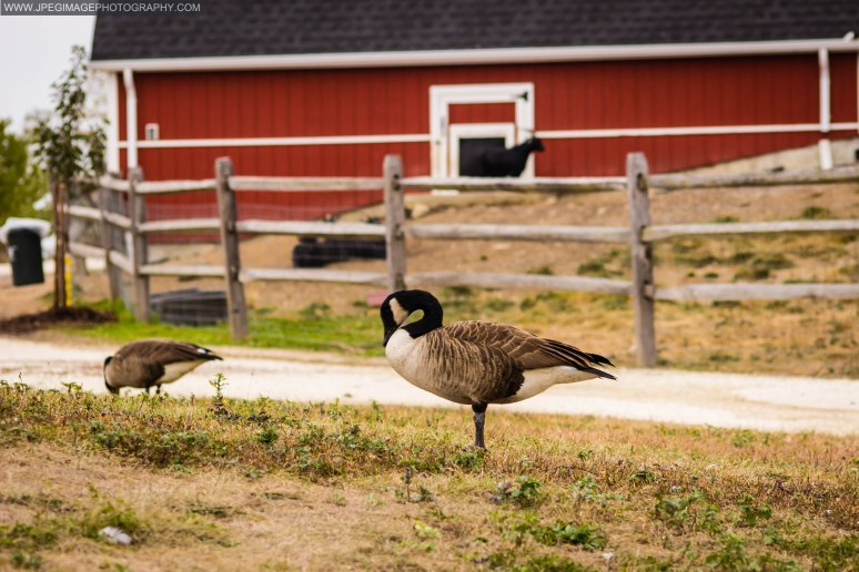Canada Goose (Branta Canadensis) at the Norman J. Levy Park Preserve in Freeport L.I.