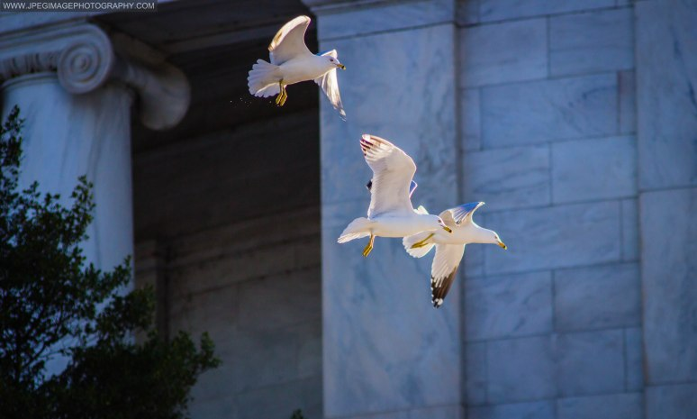 Seagulls in flight near the Thomas Jefferson memorial in Washington DC.