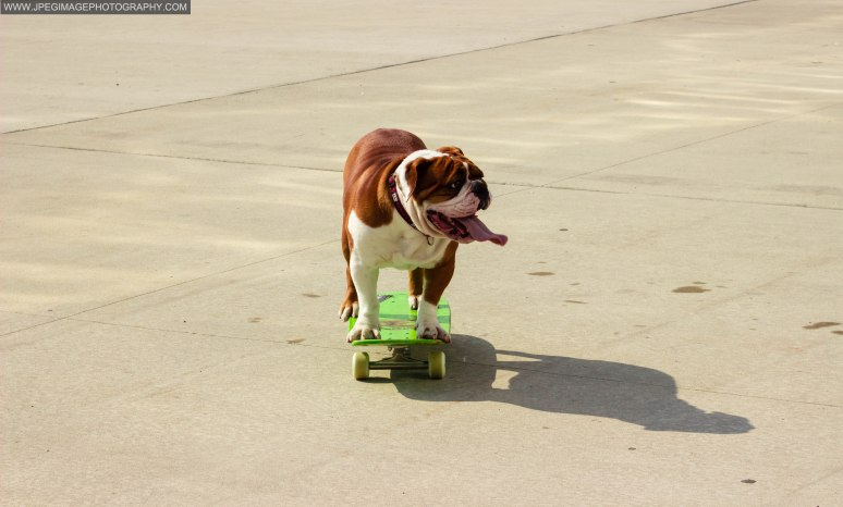 Bulldog riding on a skateboard in Brooklyn Bridge Park located in DUMBO Brooklyn New York.