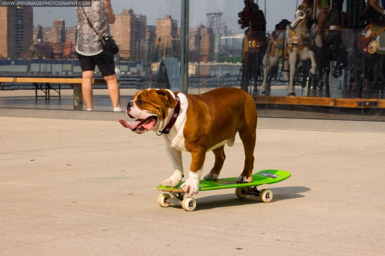 Bulldog riding on a skateboard near Jane's Carousel in Brooklyn Bridge Park located in DUMBO Brooklyn New York.